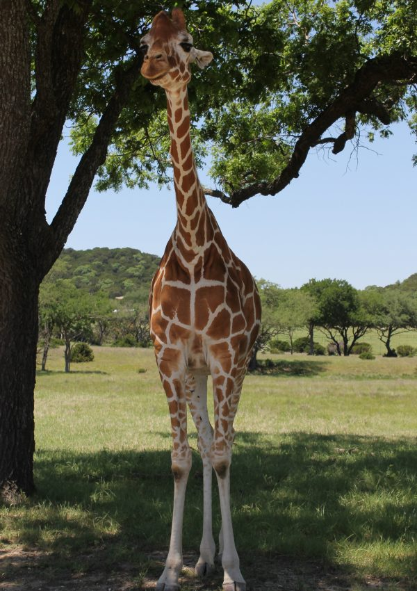 Where Giraffes Eat Out Of Your Hand