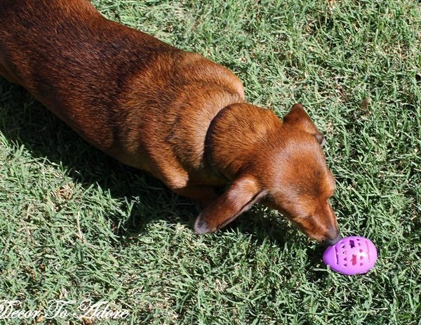 An Easter Egg Hunt for Dogs