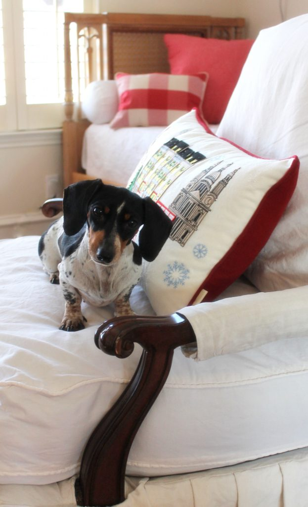 Anglophile doxie Gracie