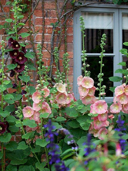 garden hollyhock