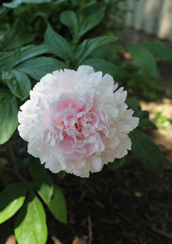 You Can Grow Peonies in Texas