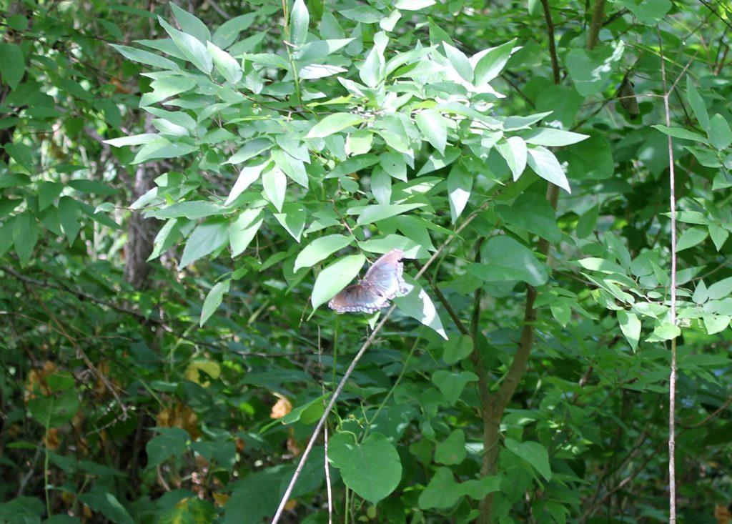 Trinity River Audubon butterfly