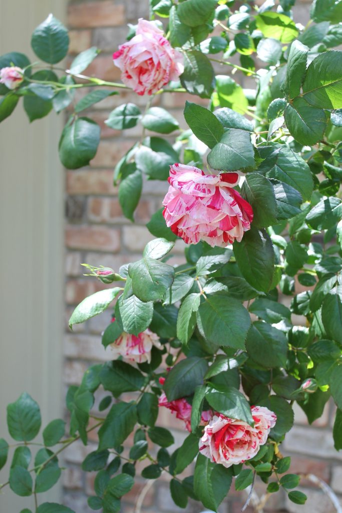 Peppermint rose