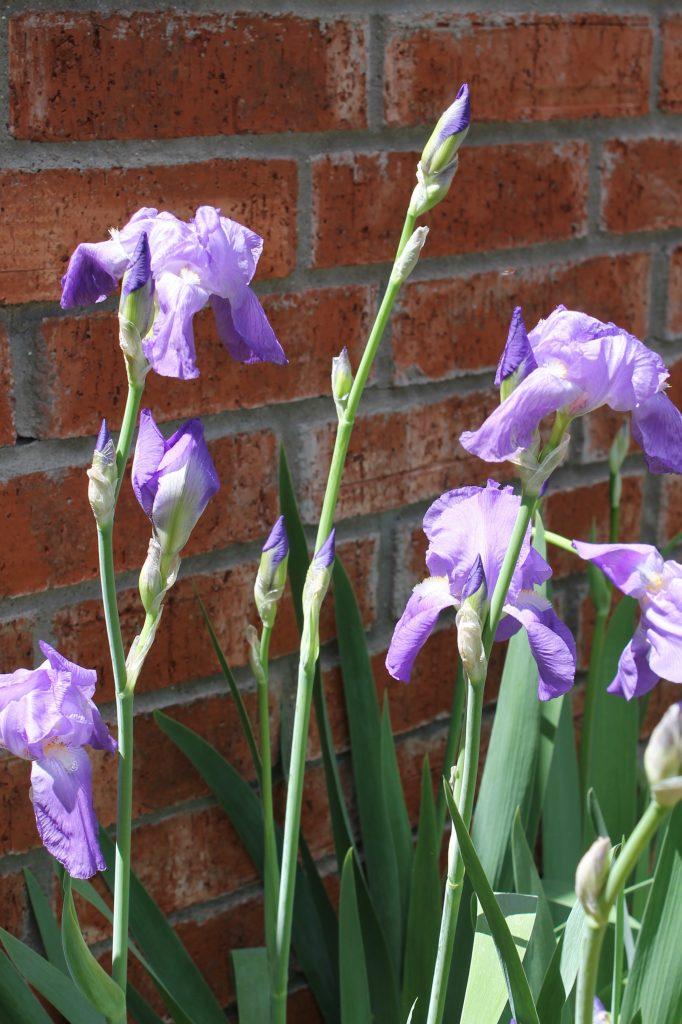 Bearded lilies
